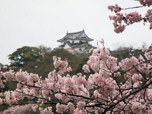 Sakura170409